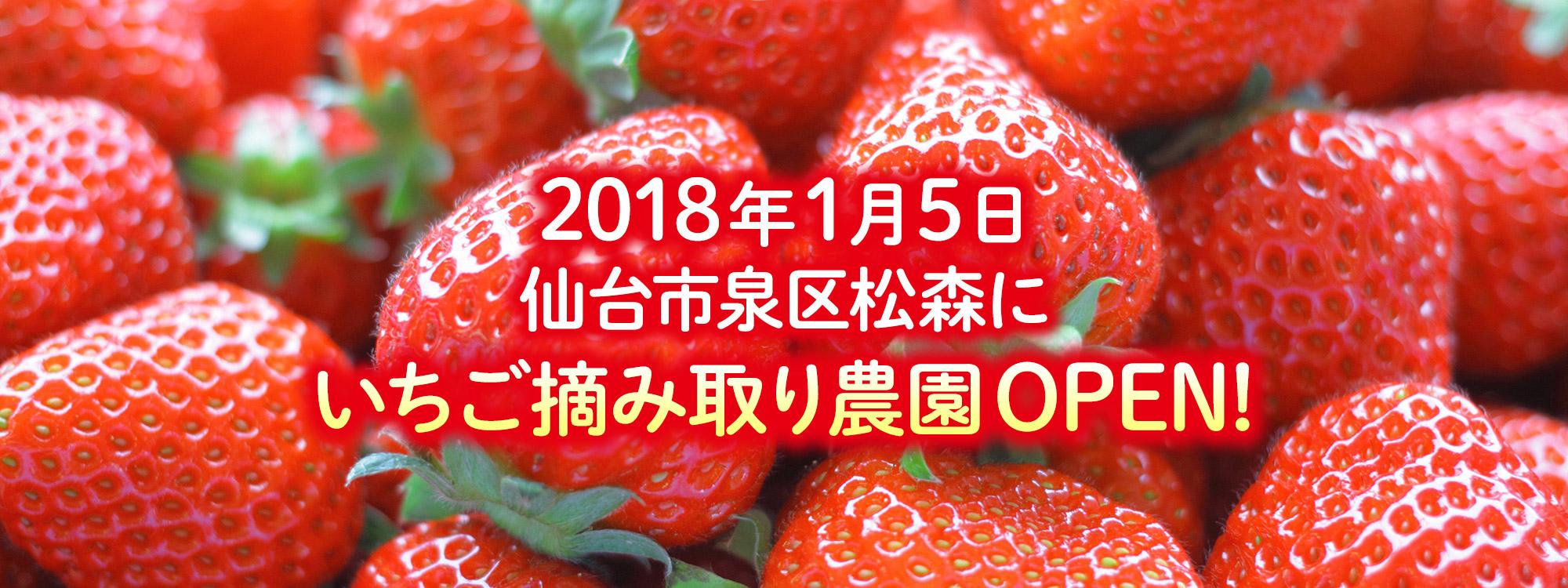イチゴ狩り!仙台市にオープン!松森農場!